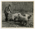 """Uncle"" George Lamons, mountaineer, salting his sheep"