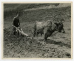 Plowing with an ox near the Great Smoky Mountains National Park