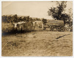 Oxen team hauling crossties at tieyard