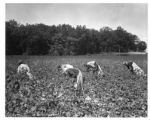 Picking cotton near Huntington, Tennessee